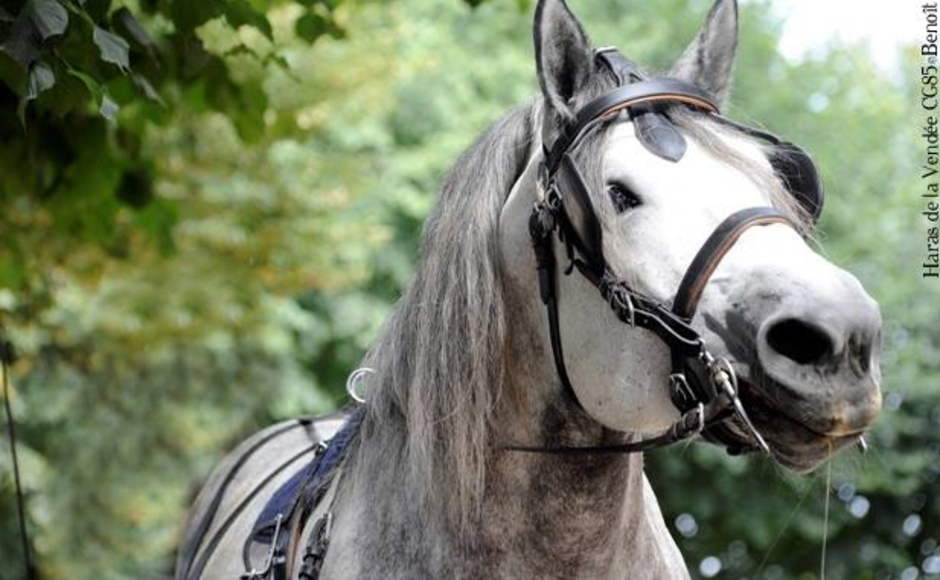 cheval percheron